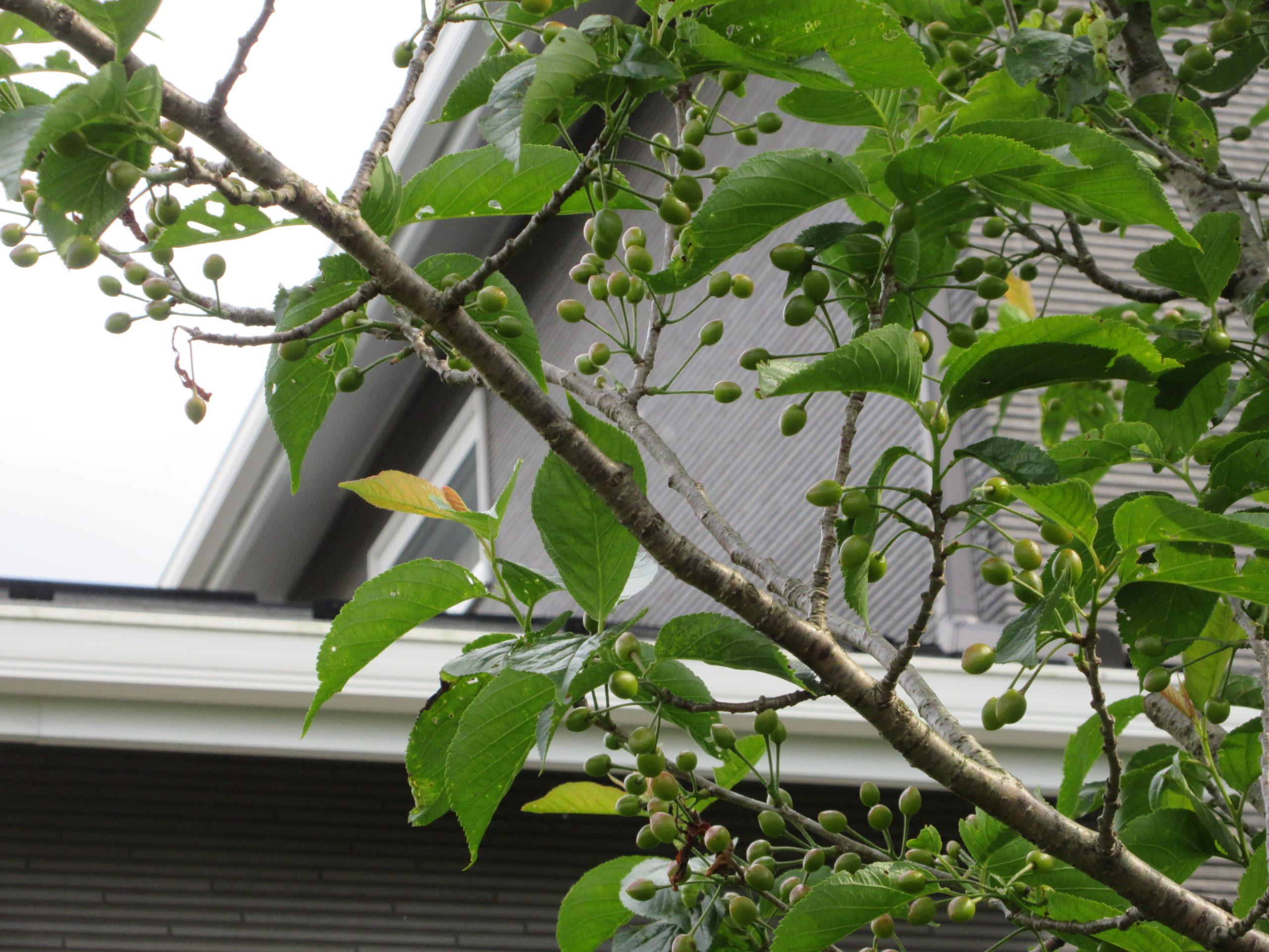 さくらんぼの木の成長